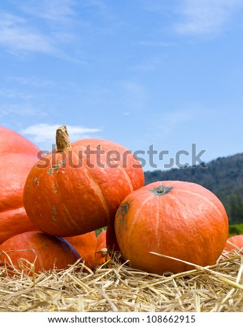 Pumpkins  in farm rural country field produce harvest holiday