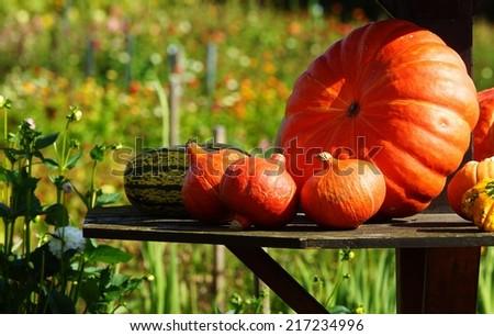 Pumpkins on a farm - stock photo