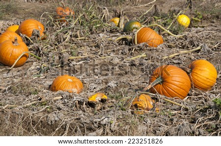 Pumpkins's field, Vermont - stock photo