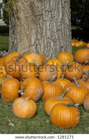 Pumpkins surround a tree