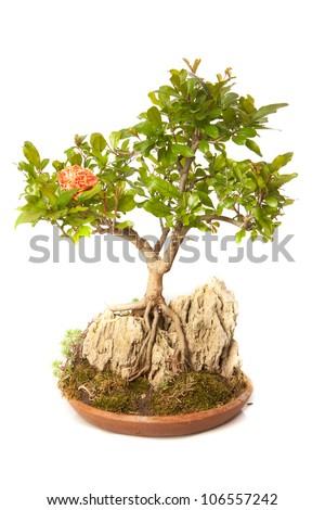 Punica granatum bonsai isolated on white - stock photo