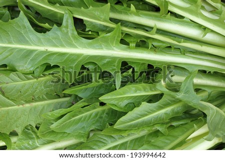 Puntarelle or cicoria di catalogna or cicoria asparago,type of chicory, italian market in december - stock photo