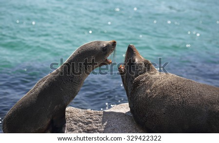 Pup and adult Australian fur seal arguing fighting interaction - stock photo