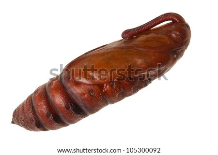 Pupa or chrysalis of an unknown moth species, most likely a tobacco or tomato hawkmoth, Manduca sexta or quinquemaculata, isolated against a white background - stock photo