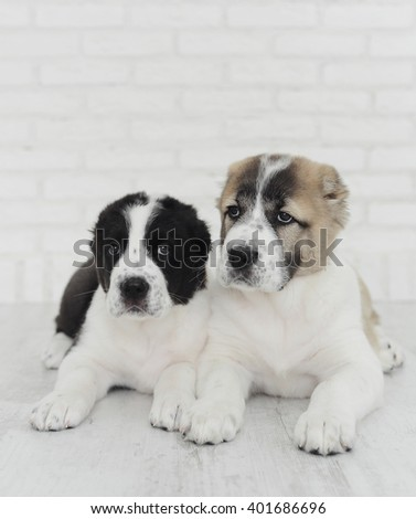 Puppies Alabai on a white background in the Studio.