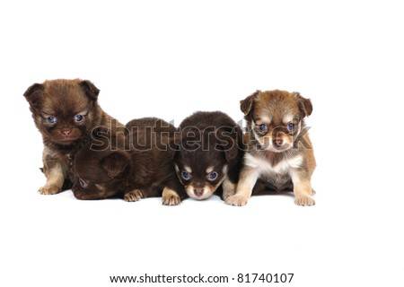 Puppies chihuahua in studio in front of white background