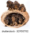puppies dachshund - stock photo