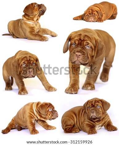 Puppies Dogue de Bordeaux, collage of several photos on a white background - stock photo