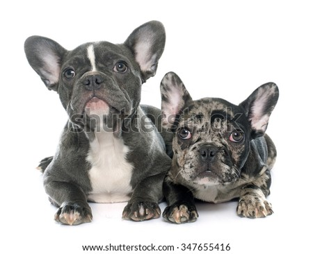 puppies french bulldog in front of white background