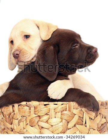 Puppies in a basket. - stock photo