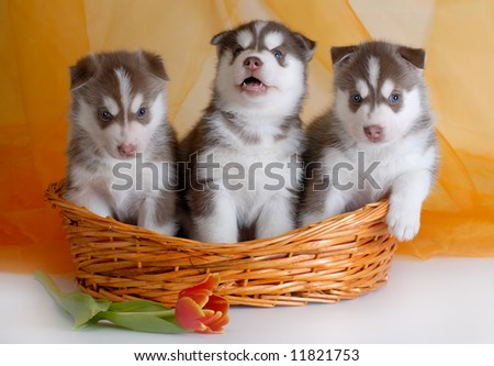 puppies in the basket - stock photo