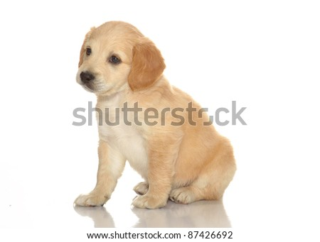 puppies isolated white background - stock photo