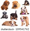 Puppies of different breeds, Dachshund, Shar Pei, Rottweiler, Bulldog, French Bulldog. - stock photo