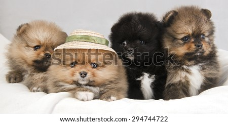 Puppies Pomeranian lying on a white surface