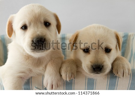 Puppies - portrait of cute labrador puppies - stock photo