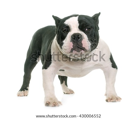 puppy american bully in front of white background - stock photo