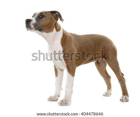 puppy american staffordshire terrier in front of white background