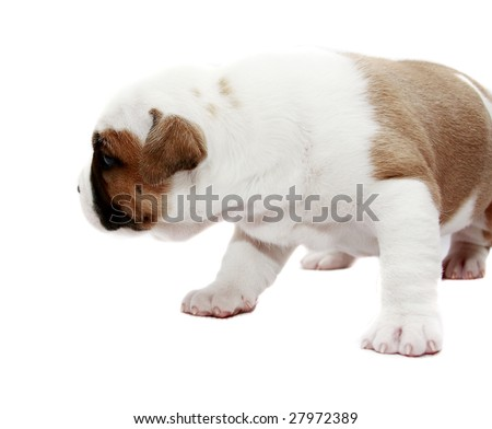 Puppy American Staffordshire Terrier (3 weeks) in white background - stock photo