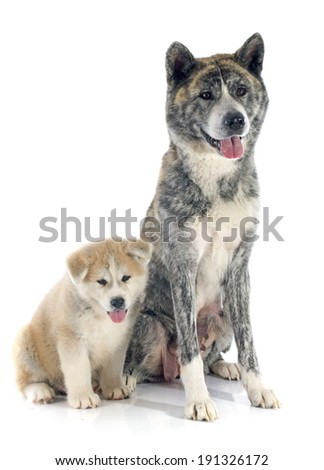 puppy and adult akita inu in front of white background