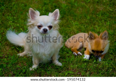 Puppy and adult chihuahua resting in the grass. - stock photo
