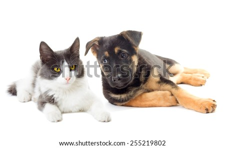 puppy and cat  looking German Shepherd - stock photo