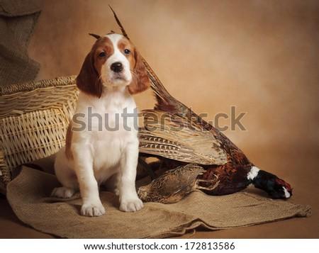 Puppy and pheasant, horizontal, studio - stock photo
