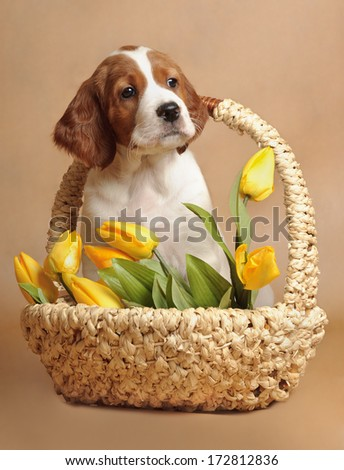 Puppy and yellow tulips, vertical, studio - stock photo