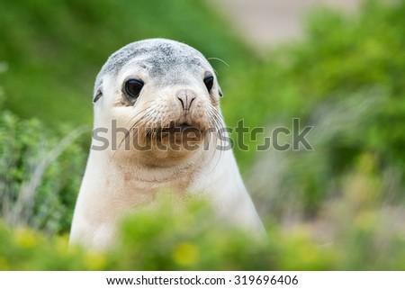 puppy australian sea lion on green bush in kangaroo island - stock photo