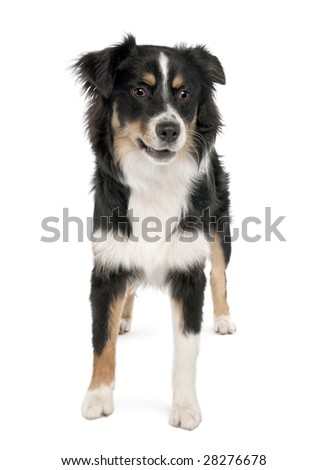 Puppy australian shepherd (7 months) in front of a white background