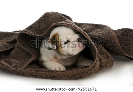 puppy bath time - english bulldog puppy and towel - stock photo