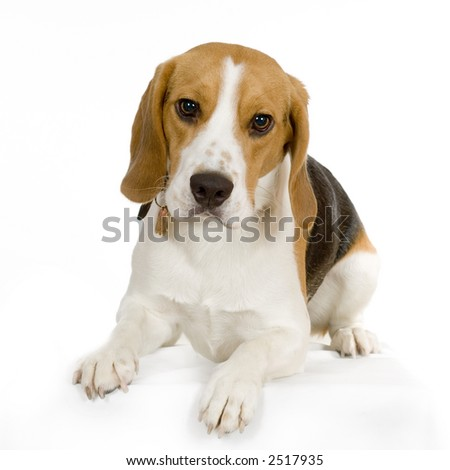 puppy Beagle lying down in front of a white background and looking at the camera