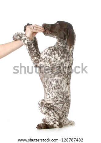 puppy begging - german shorthair pointer begging for treats isolated on white background - stock photo