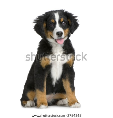puppy Bernese mountain dog sitting in front of a white background - stock photo
