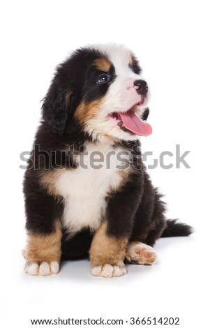 Puppy Bernese Mountain Dog sitting (isolated on white)