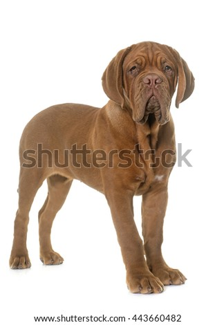 puppy Bordeaux mastiff in front of white background
