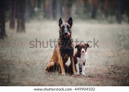 puppy Border Collie and Belgian Shepherd Dog sitting on the grass in the forest