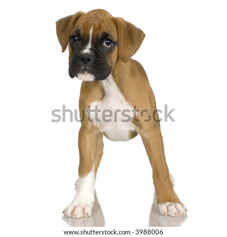 puppy Boxer in front of white background - stock photo