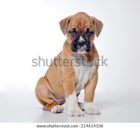 Puppy Boxer, 2 months old, sitting in front of white background - stock photo