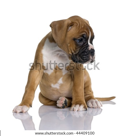 Puppy Boxer, 2 months old, sitting in front of white background, studio shot - stock photo