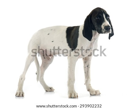 puppy Braque d'Auvergne in front of white background