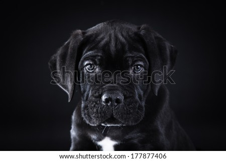 puppy breed Italian Cane Corso