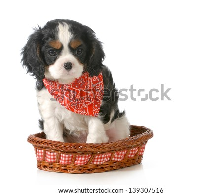 puppy - cavalier king charles spaniel puppy sitting in a basket isolated on white background - 7 weeks old - stock photo