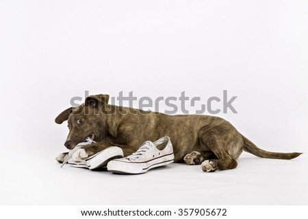 Puppy chewing on a shoe - stock photo