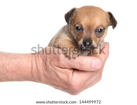 Puppy Chihuahua sitting in his hand. Close-up portrait on a white background