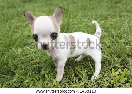 Puppy chihuahua standing at the grass - stock photo
