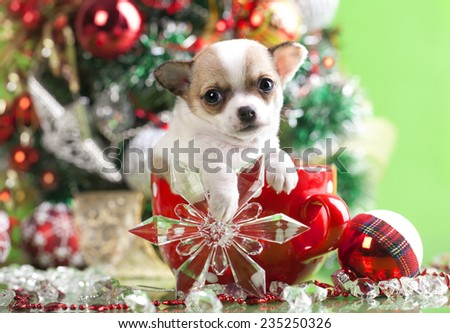 puppy christmas chihuahua in  cup - stock photo