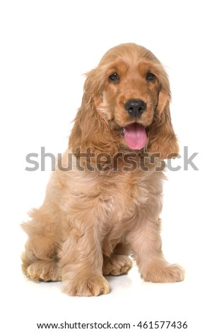 puppy cocker spaniel in front of white background