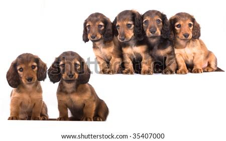 puppy  dachshund - stock photo