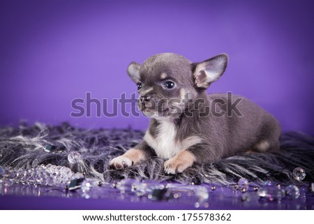 puppy, decorative dog, chihuahua
