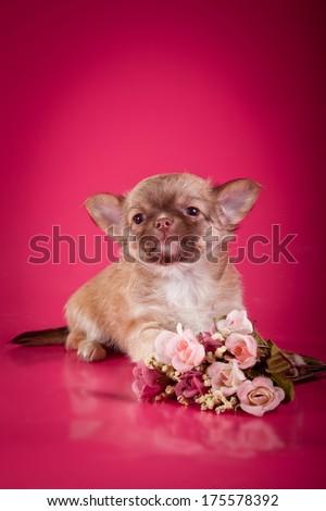 puppy, decorative dog, chihuahua - stock photo